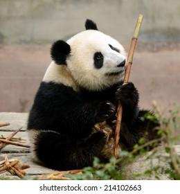 Cub of Giant Chinese panda bear eating bamboo Chengdu, China