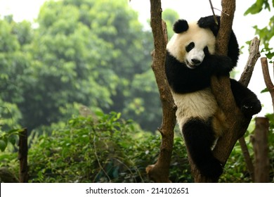 Cub of Giant panda bear playing on tree Chengdu, China