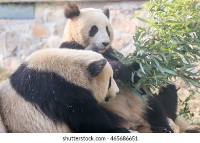 Cub of Giant panda bear playing in zooï¼?Beijing, China