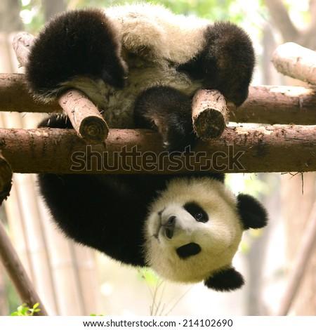 Cub of Giant Panda