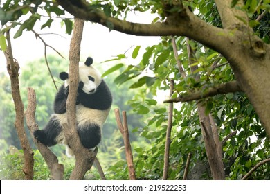 Cub of Giant panda bear sleeping on tree Chengdu, China