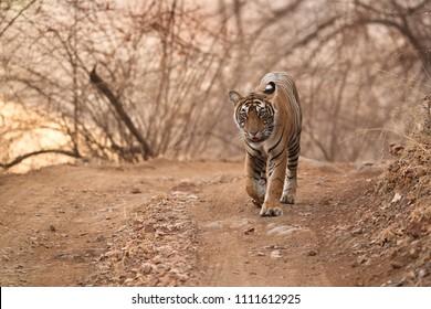 Cub of Noor Tigress walking at Ranthambore Tiger Reserve