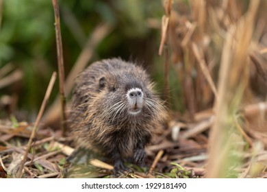 A cub nutria grazes early in the morning on grass on the banks of a reservoir in Lake Hula Nature Reserve in northern Israel.