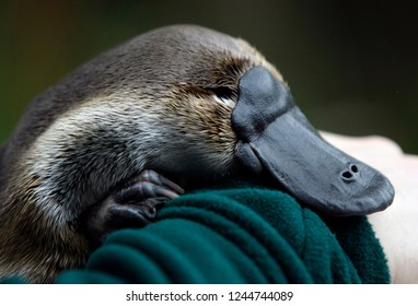 The cub of the platypus is sleeping