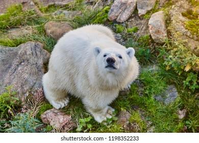 Cub polar bear in the wilderness. Wildlife animal background. Horizontal