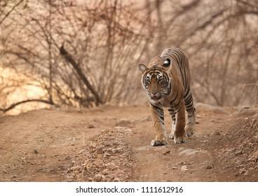 Cub of Tigress Noor at Ranthambore Tiger Reserve