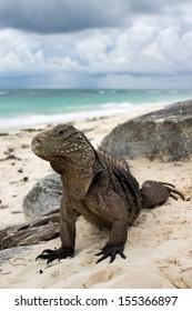 Cuba belt tail iguana