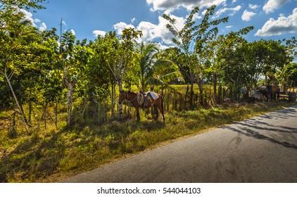Cuba farmland resting horse tropical sunny Vinales valley palm trees rice tobacco farm