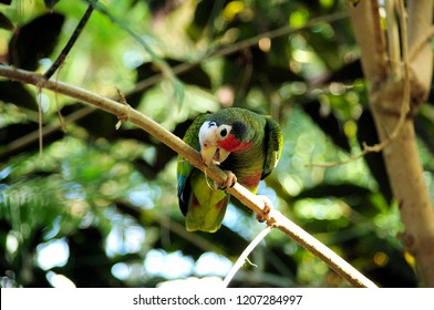 Cuban amazon (Amazona leucocephala) perched on a branch gnawing on a twig.