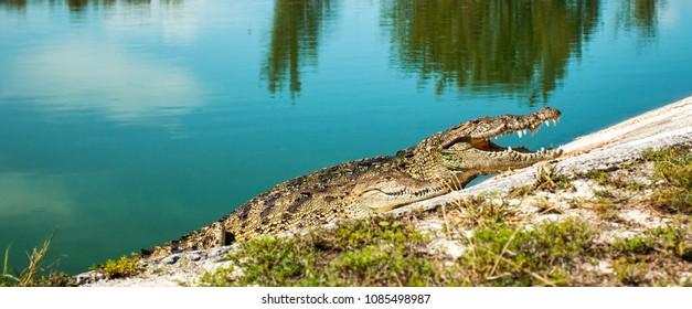 Cuban crocodile in Cayo Largo, Cuba