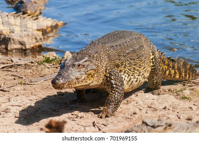 The Cuban crocodile (Crocodylus rhombifer) creeps out on the coast. It has the smallest range of any crocodile and can be found only in Cuba in the Zapata Swamp