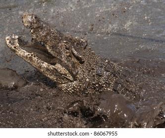 Cuban Crocodile with open mouth. Cuban Crocodile (crocodylus rhombifer)