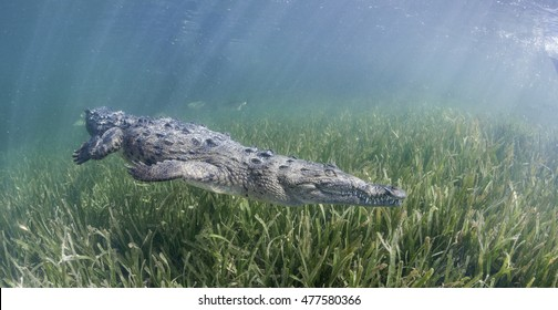 Cuban crocodile swimming underwater in the mangrove areas of Gardens of The Queens Marine Park in Cuba.