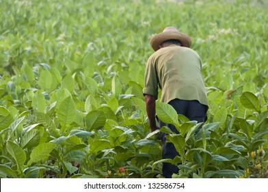 Cuban farmer on the tobacco field