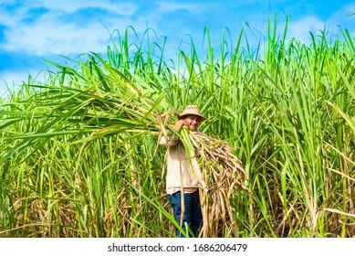 Kubanischer Feldzüchter auf dem Zuckerrohrfeld während der Ernte in Santa Clara Cuba - Serie Cuba-Reportage