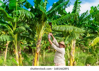 Kubanischer Feldarbeiter während der Bananenernte in Santa Clara Cuba - Serie Cuba-Reportage