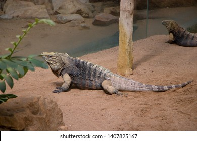 The Cuban rock iguana (Cyclura nubila), also known as the Cuban ground iguana or Cuban iguana, species of lizard of the iguana family. It is the largest of the West Indian rock iguanas (genus Cyclura)