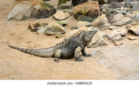 Cuban rock iguana (Cyclura nubila) on a walk