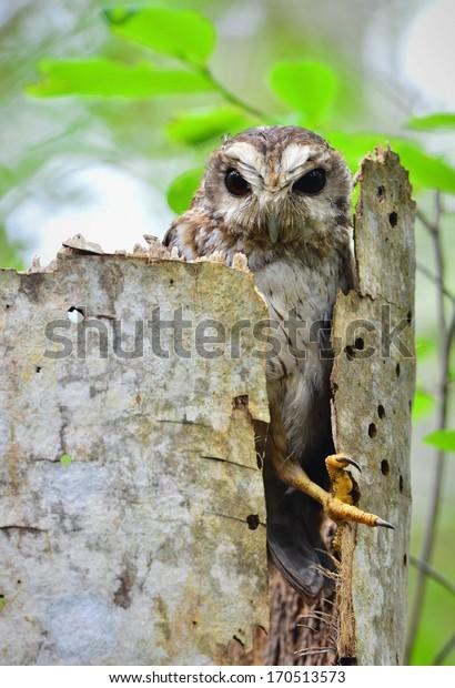Cuban Screech-owl  in Tree Hole. Cuban Screech-owl Gymnoglaux lawrencii at roost site in Zapata, Republic of Cuba in May.