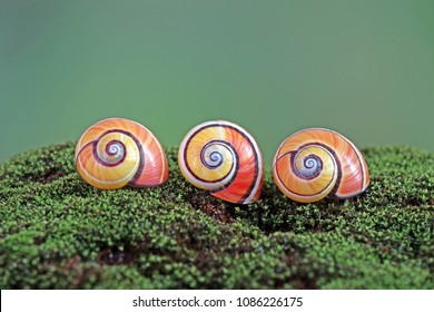 Cuban snail (Polymita picta) World's most colorful land snail from Cuba, and known as  Painted snail. Endangered species. Selective focus, blurred nature background with copy space