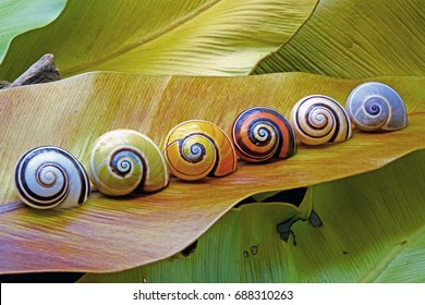Cuban snails , World most colorful snail from Cuba , Polymita picta or Painted snails was rare and protected.