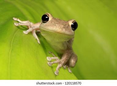 Cuban Tree Frog Clinging to a Backlit Leaf