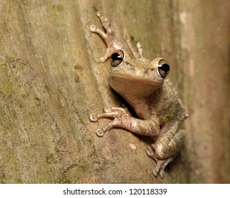 Cuban Tree Frog Clinging to the Trunk of a Tree