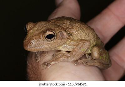 Cuban tree frog in Florida.