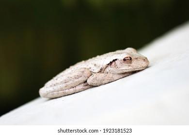 Cuban tree frog in florida