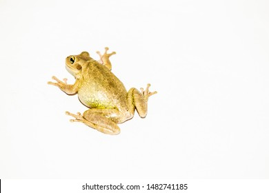 Cuban Tree frog isolated on white background was introduced to southern Florida from the Caribbean and has continued to spread in Florida. frog on white background, isolated, up close, educational.