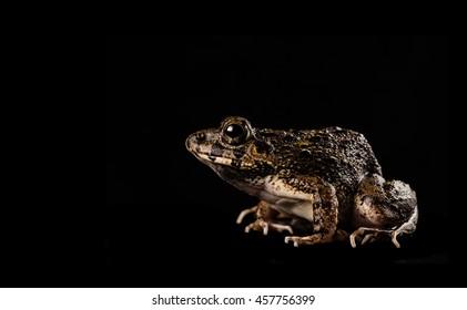 Cuban Tree Frog Isolation on Black