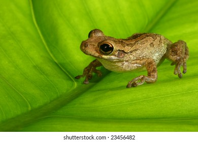 Cuban Tree Frog on Back lit Leaf