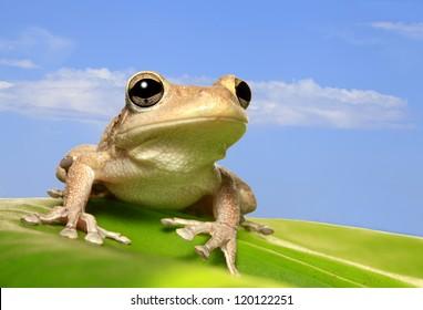 Cuban Tree Frog on Backlit Leaf Against Blue Sky