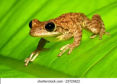 Cuban Tree Frog on backlit banana leaf