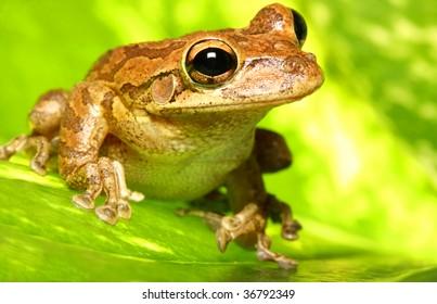 Cuban Tree Frog on Backlit Variegated Leaf