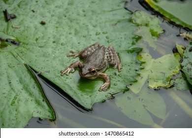 Cuban Tree Frog on Lily Pad