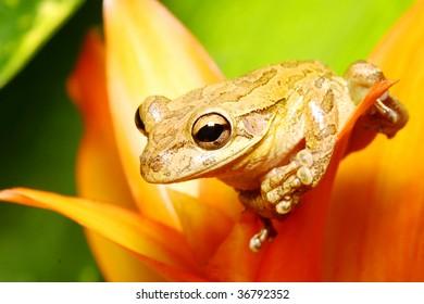 Cuban Tree Frog on Orange Bromeliad
