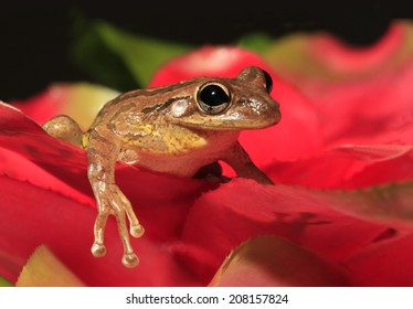 Cuban Tree Frog on Red Bromeliad