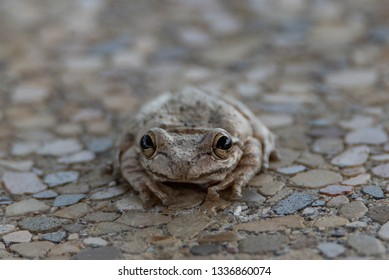 Cuban Tree Frog (osteopilus septentrionalis) portrait head on
