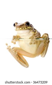 Cuban Tree Frog (Osteopilus septentrionalis), an invasive species in the United States, climbs over the edge of a glass wall. Conceptualizing the species invasion on a white background.