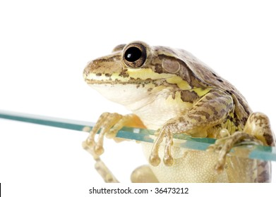 Cuban Tree Frog (Osteopilus septentrionalis), an invasive species in the United States, climbs over a glass wall. Conceptualizing the species invasion on a white background.