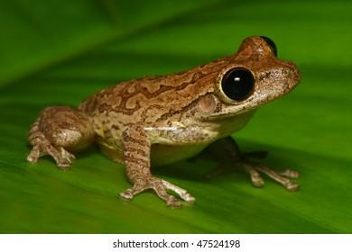 Cuban Tree-Frog on Green Leaf