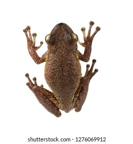 Cuban Treefrog (Osteopilus septentrionalis) view from above.   Isolated on white background