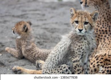 Cubs of Cheetah in zoo