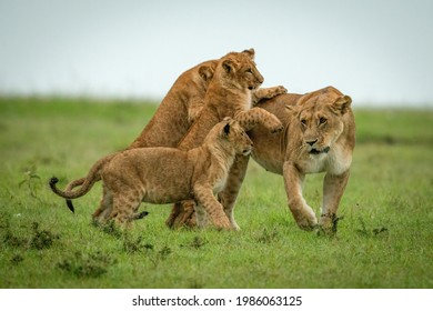 Cubs play fighting with lioness crossing savannah