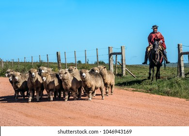 Cuchilla del Ombu, Tacuarembo, Uruguay - March 12, 2018: Gaucho (South American cowboy) collect the herd and drive it into the corral. Gaucho is a resident of the South American pampas