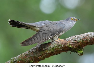 Cuckoo Bird Images Stock Photos Vectors