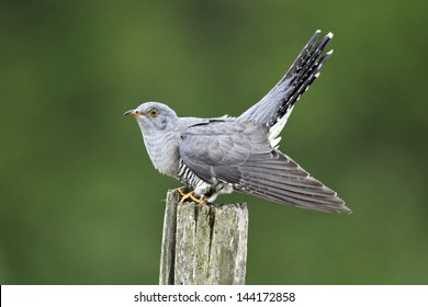 Cuckoo, Cuculus canorus, single bird on post, Midlands, April 2011