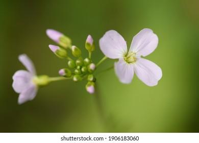 Cuckoo Flower - Lady's Smock delicate pink woodland flower