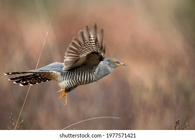Cuckoo flying, close up, on moorland in Scotland in the spring